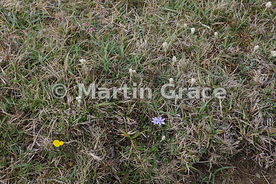 Short turf of Keen of Hamar National Nature Reserve , Unst, Shetland, with Mountain Everlasting (Antennaria dioica), Common B...