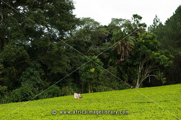 Tea picker, gSatemwa tea estate, Thyolo Forest Reserve, Malawi