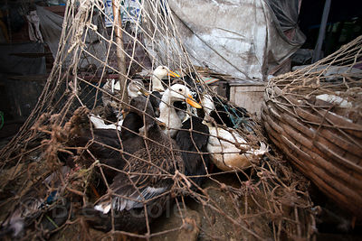 Ducks wait in baskets to head to slaughter, Newmarket, Kolkata, India.