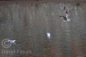 young yellow-legged Gulls (Larus michahellis) flying over Onyar river