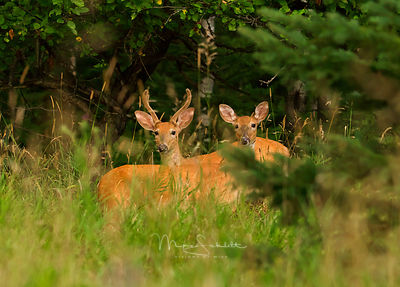 8-8-10_Deer_Oyster_Pointe_w_Dick_Buck_Doe_croped_0027