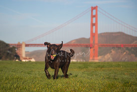 Happy Chocolate Lab Running in Front of Golden Gate Bridge