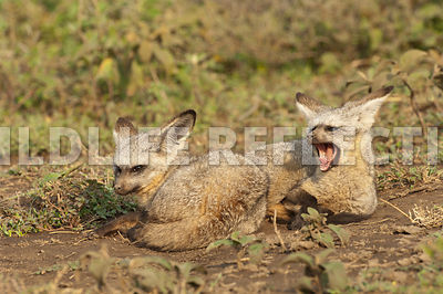 bat_eared_fox_snuggle_3