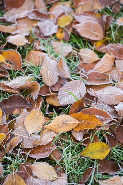 Fallen leaves of Betula utilis var jacquemontii 'Grayswood Ghost' rimed with frost.