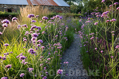 A slate path winds between clumps of tall Verbena bonariensis and low Teucrium hircanicum in the Barn Garden. The Bay Garden, Camolin, Co Wexford, Ireland