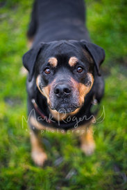 Senior  Rottweiler Looking Up with Kind Eyes