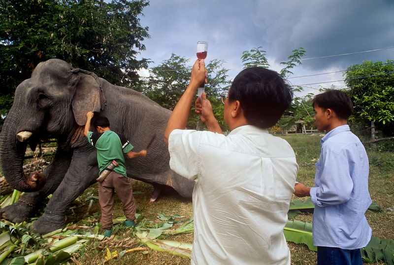 Vet, Dr. Preecha injects tusker suffering from abscess, in village  Elephant Hospital. Lampang, Thailand