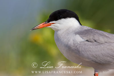 Adult Male Common Tern