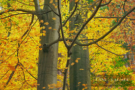 Beech forest (fagus sylvatica) in autumn - Europe, Germany, Saxony-Anhalt, Harz, Ilsenburg, Ilse Valley - digital - Getty ima...