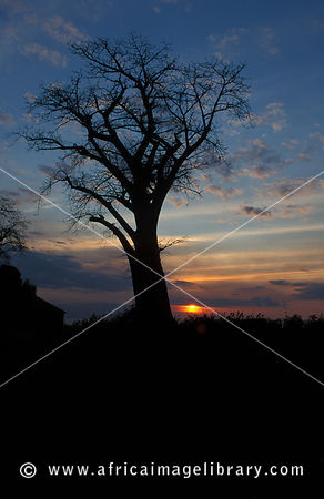 Baobab tree at sunset, Likoma Island, Lake Malawi, Malawi