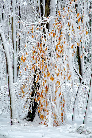 Clinging Leaves and Snow