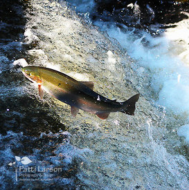Steelhead Getting Air