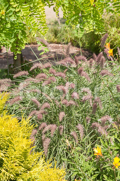 Pennisetum 'Karley Rose', herbe aux écouvillons