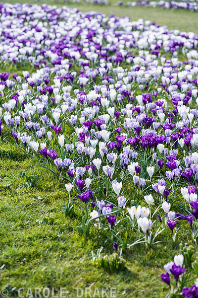 Purple and white crocuses planted in grass.