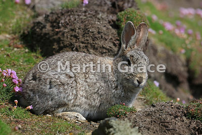 European Rabbit (Oryctolagus cuniculus) on the cliff top at Sumburgh Head, Mainland South, Shetland