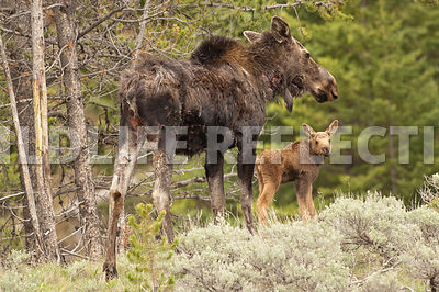 Moose Calf with Injured Cow