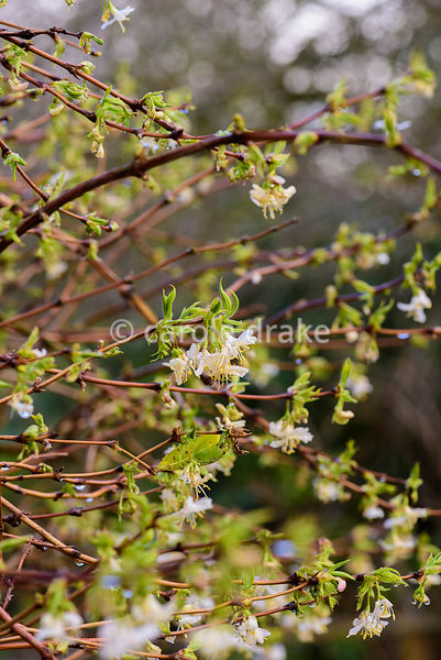 Lonicera fragrantissima. Hodsock Priory, Blyth, Notts