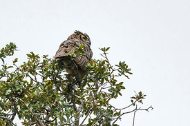 Great Horned Owl, Bubo virginianus, Hunting in the Organ Mountains