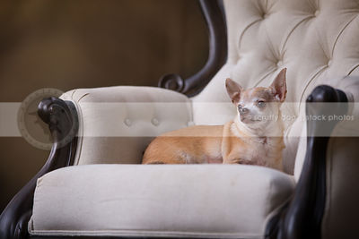 little tan dog lying on antique white chair with bokeh background