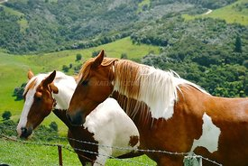brown_and_white_horses