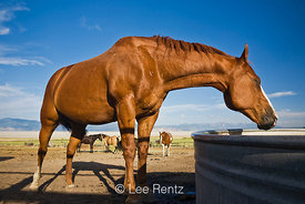 Horse drinking from water tank at Fielding Garr Ranch, Antelope Island State Park in the Great Salt Lake, Utah, USA, August, ...