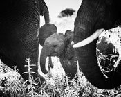 07697-Baby_elephant_closed_to_the_adults_Tanzania_2018_Laurent_Baheux