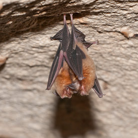 Bahaman Funnel Nosed Bat