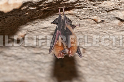 funnel_eared_pair_hanging
