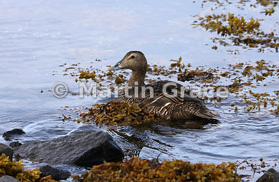 Female Common Eider (Somateria mollissima) swimming through seaweed, Vestfirdir (Westfjords), Iceland