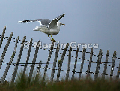 Common Gull (Mew Gull) (Larus canus) perching awkwardly on a paling fence, Lochindorb, Scottish Highlands