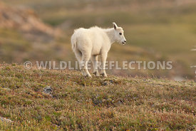 mountain_goat_kid_shyness