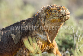 galapagos_land_iguana_north_seymour_close-3