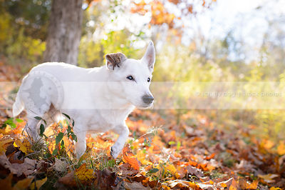 white senior jack russell walking through autumn leaves