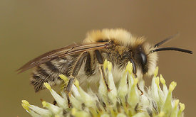 Colletes cunicularius, male at Durmplassen, Merendree