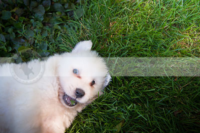 fun white puppy dog looking upward from mowed grass