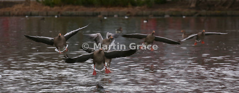 Greylag Geese (Anser anser) flying in to Tjornin City Pond, Reykjavik, Iceland