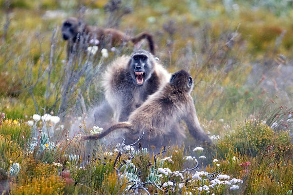 Two chacma baboons have a real fight, in the natrual fynbos ecosystem of Smitswinkel Flats, Cape Peninsula, South Africa