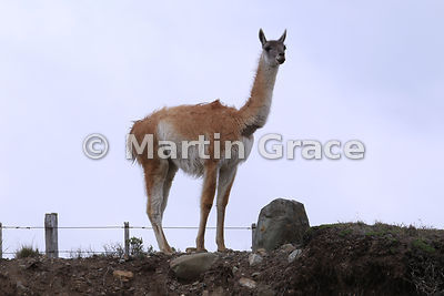 Male Guanaco (Lama guanicoe) standing on guard duty, Patagonia, Chile