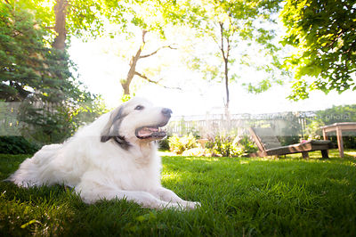 pretty white great pyrenees dog lying in mowed grass in yard