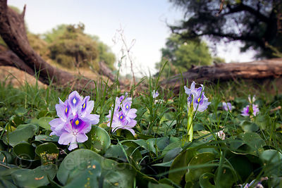 Wildflowers (sp.), Keoladeo National Park, Bharatpur, India
