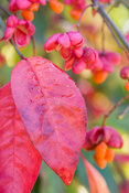 Brilliant autumn leaves and berries of Euonymus europaeus. Knoll Gardens, nr Wimborne, Dorset, UK