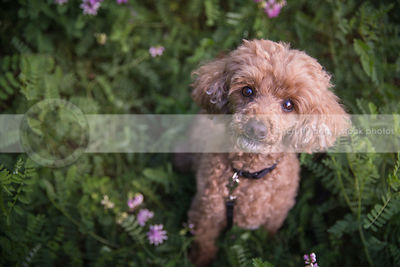 cute little tan poodle dog staring upward sitting in clover in summer