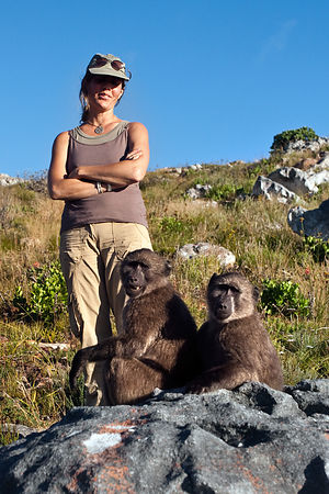 A Baboon Matters staffers checks on chacma baboons from the Slangkop troop in the mountains above Ocean View, Cape Peninsula,...
