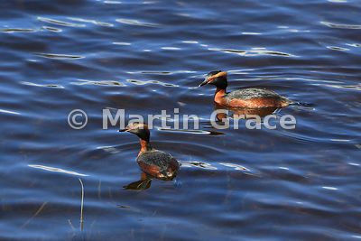 Slavonian or Horned Grebe (Podiceps auritus), Loch Ruthven (RSPB), Inverness-shire, United Kingdom