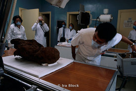 Archaeologists prepare to soften a mummy shroud in a humidification chamber.