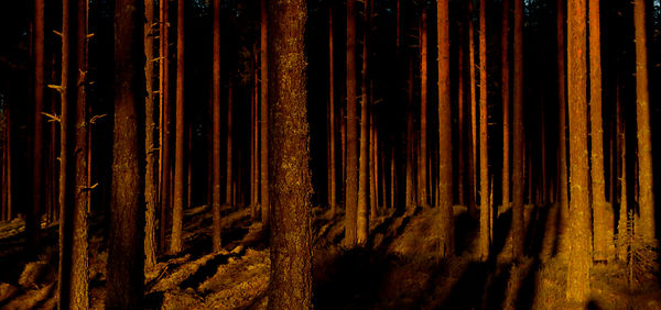 Furuskog / Pineforest, Elverum, Norway