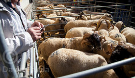 Visitor taking pictures of the sheeps. Catalan Sheep Fair (Fira Catalana de l'Ovella)