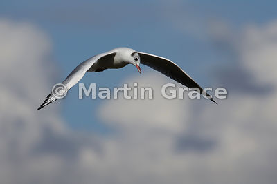 Flying Black-Headed Gull (Larus (Chroicocephalus) ridibundus), in non-breeding plumage, on the look out for food, Greenodd, C...
