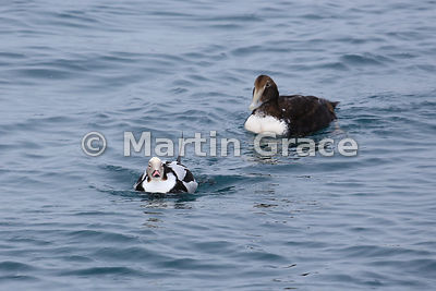 Male Long-Tailed Duck (Clangula hyemalis) in winter plumage with a sub-adult male Common Eider (Somateria mollissima) behind