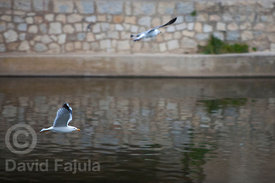 Yellow-legged Gulls (Larus michahellis) flying over Onyar river